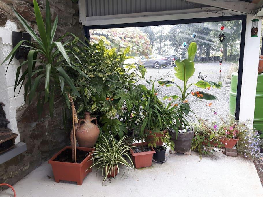 My banana plant