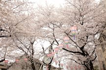 """""""Cherry blossoms"""" Cherry blossoms bloom between late March and April, in Tokyo, Osaka and Kyoto."""
