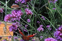 Butterflies on the Verbena