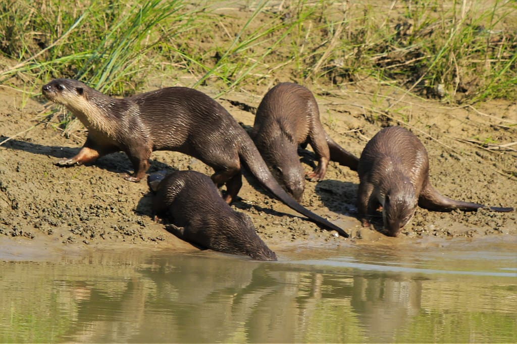 Otters in Bardia National Park