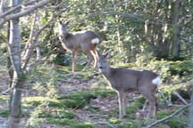 Deer in Witherslack woods.