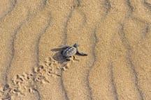 Vounaki Beach - Champion baby Kareta-Kareta on its way to the sea