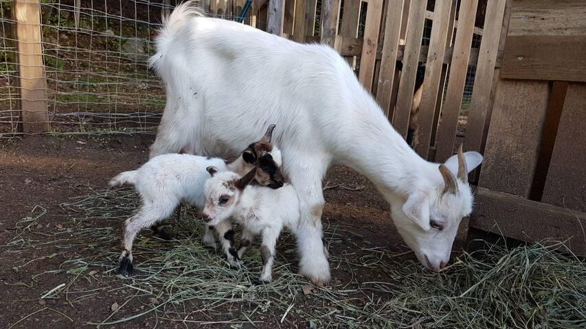 Nos petites chèvres nées ce lundi 22 janvier...
