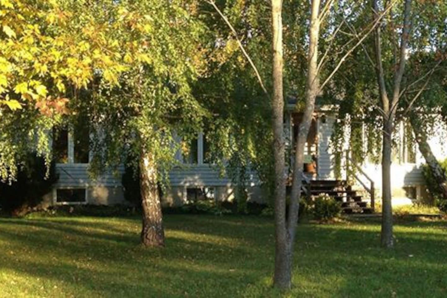 Beautiful birch trees on the front lawn
