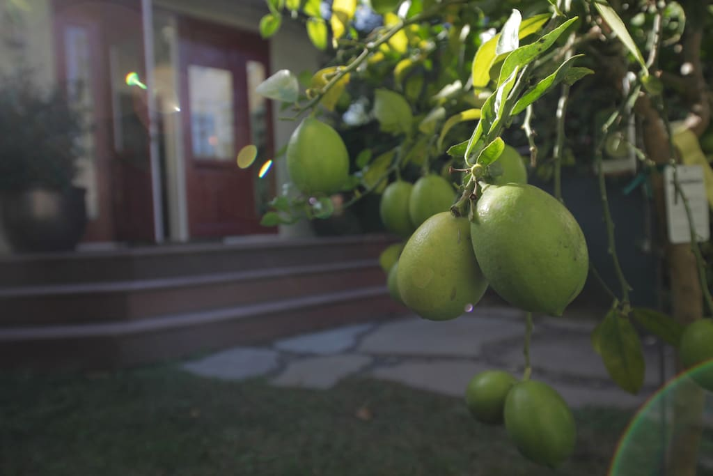 Lemon and Lime Tree (front garden)