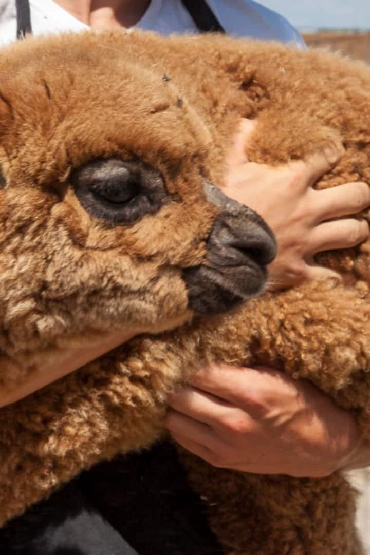 Annikin our baby Alpaca