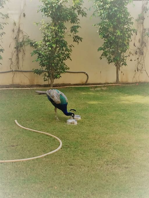 A peacock in our lawn.