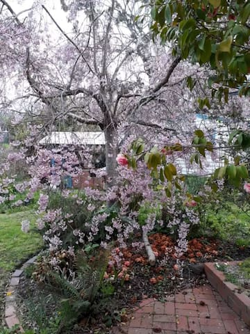 Cherry Blossom in back yard