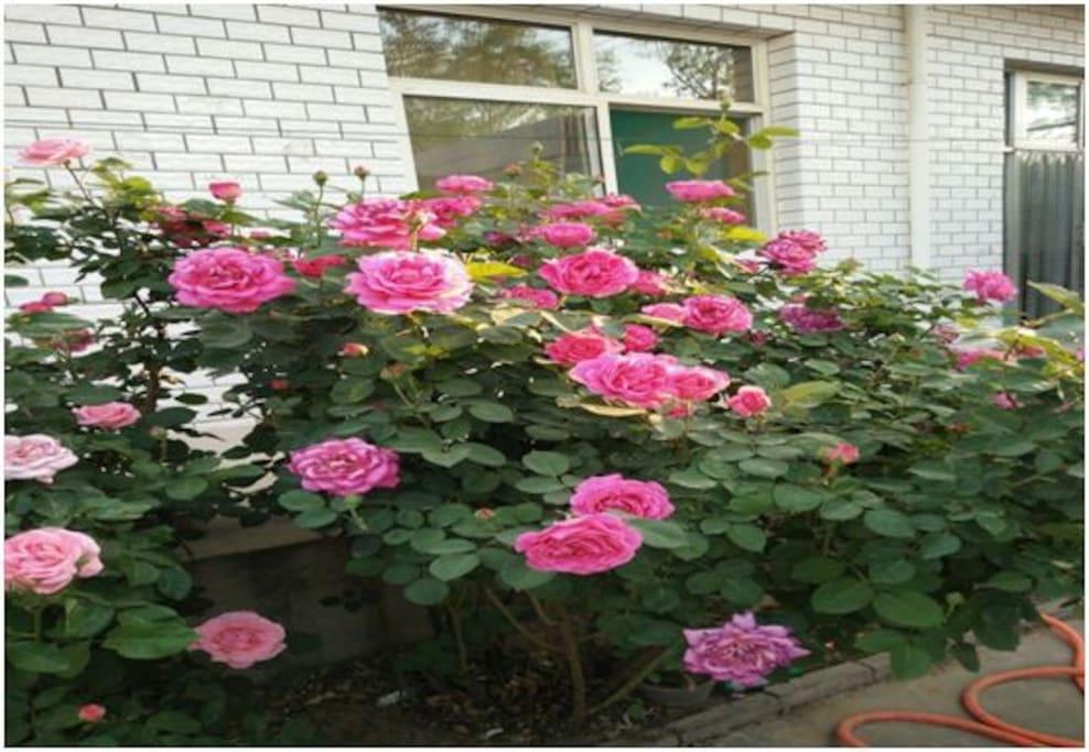 美丽的刺梅花盛开在院落