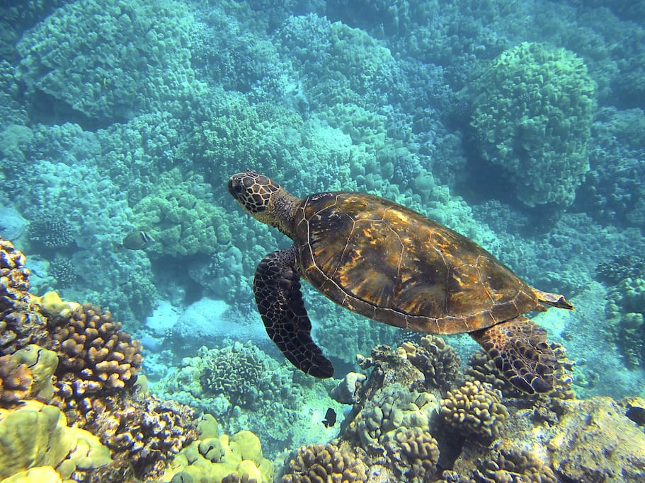 Swim with thousands of tropical fish and sea turtles right across the street at Kahalu'u Beach Park!