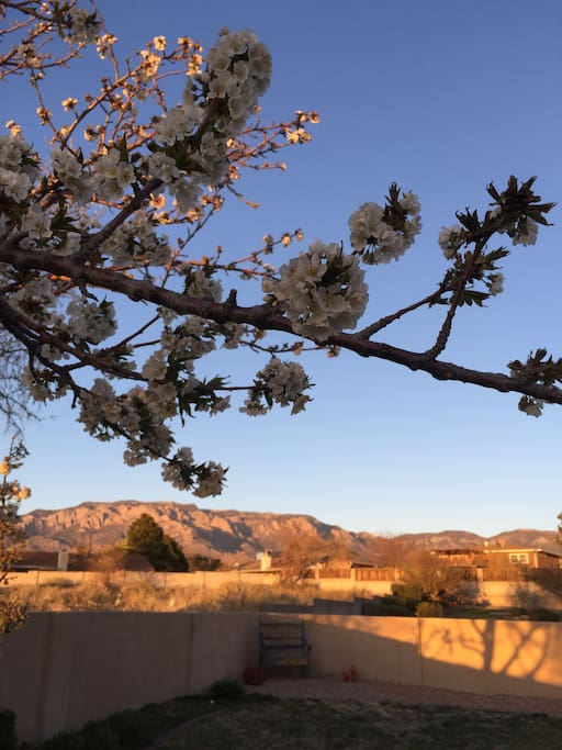 Spring Pic: Cherry blossoms in spring with backyard Sandia Mountain view.