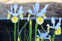 Spring iris.