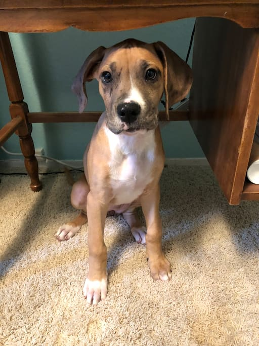 This is Seger, my new Great Dane/Boxer puppy.
