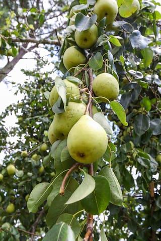 pick some fresh pears in season