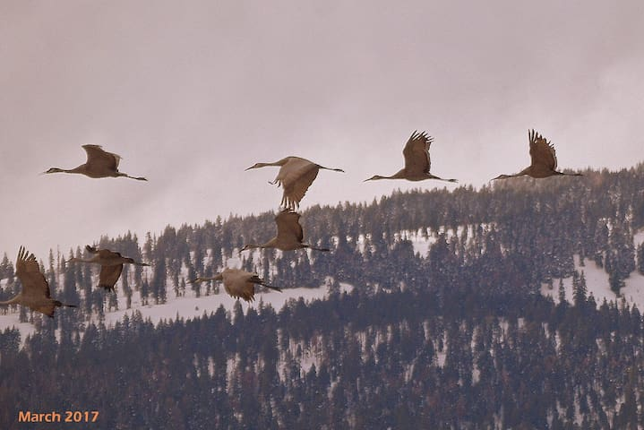 Sandhill Cranes pass through the Valley in Spring and Fall