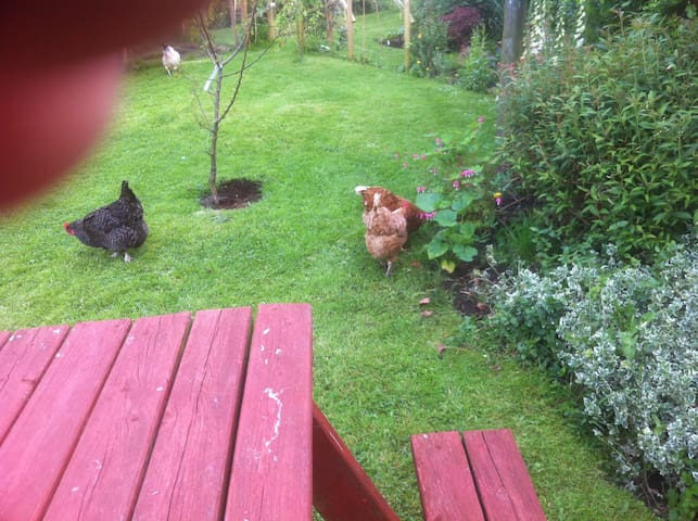 We keep a few chickens who get along well with Tabby the cat and Badger our dog.