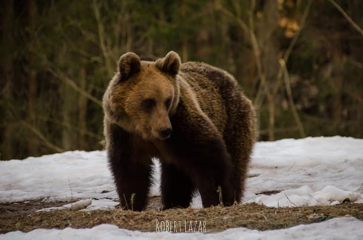 Big brown Carpathian bear