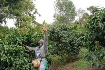 Brian picking coffee cherries