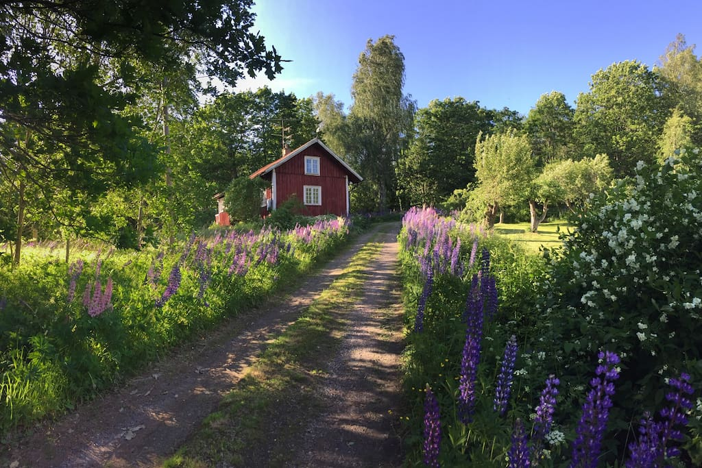 The cabin backs onto the forest, and overlooks a wide open meadow. Pictured here in mid-june surrounded by Lupins
