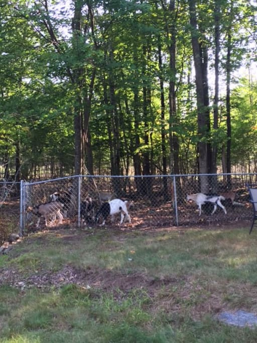 Goats in the back yard