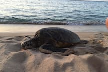 Sea Turtles love to rest on our beach.