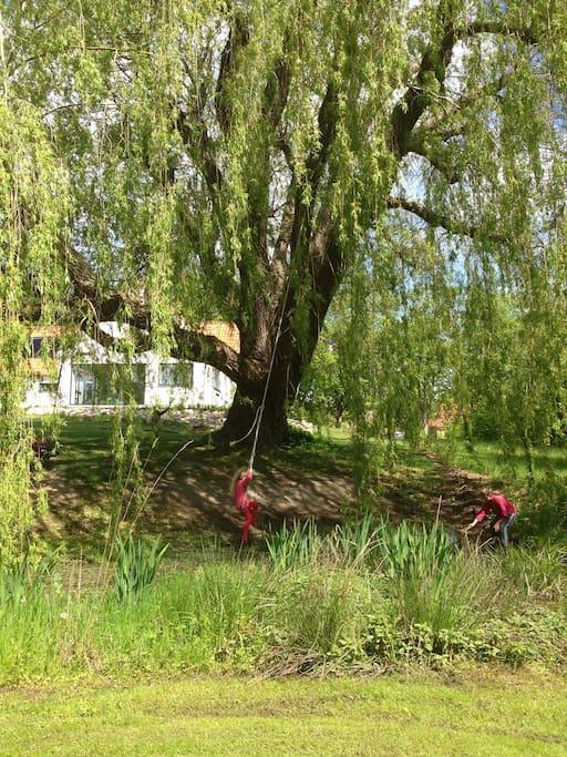 Piletræet i haven. Med vores hus i baggrunden.