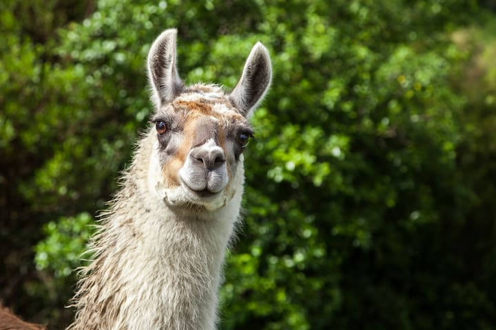 Country Escape with Llamas - 10mins to Ohope Beach
