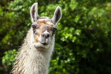 Country Escape with Llamas -  10min drive to Ohope