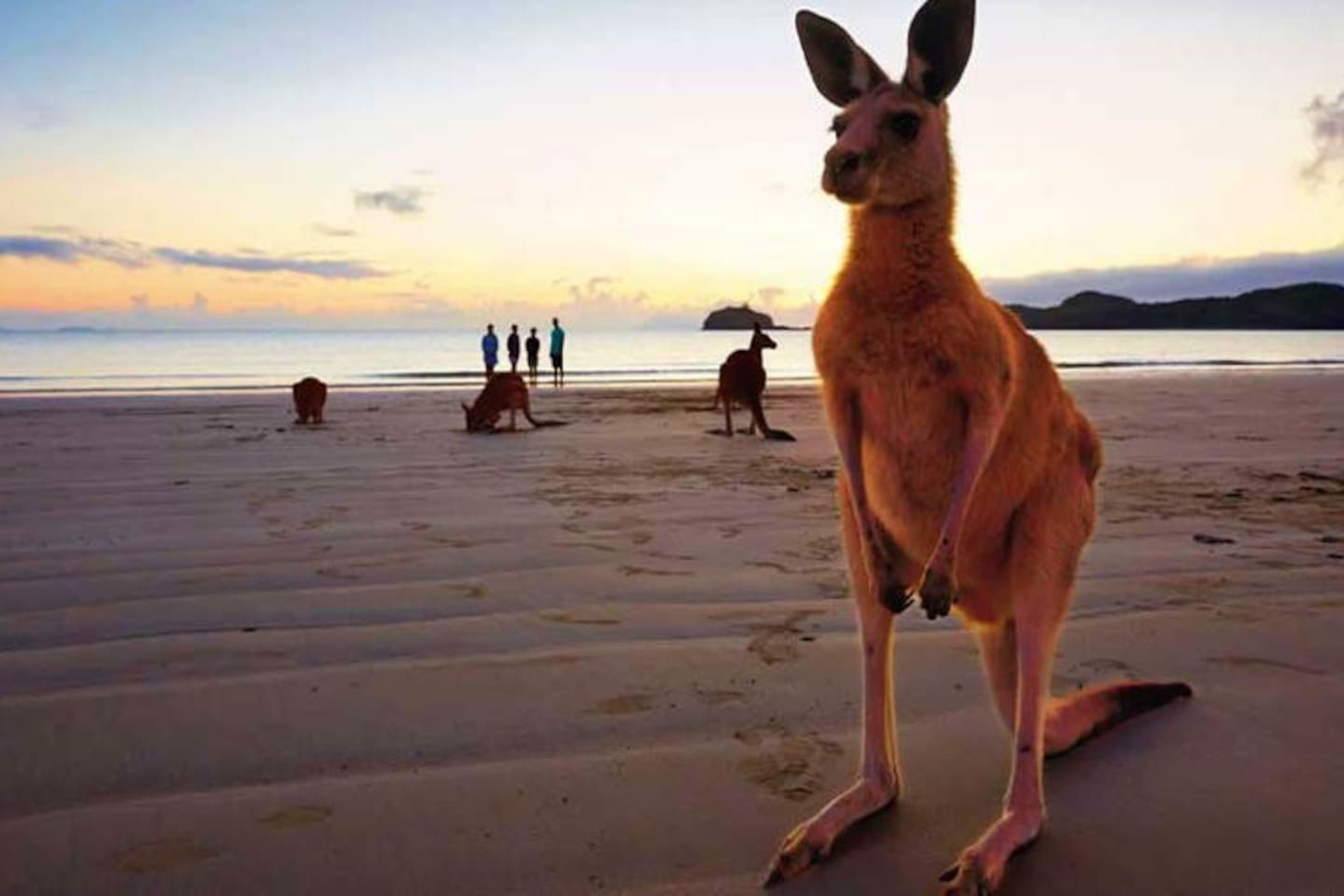 Say hello to the Wallabies at Beautiful Cape Hillsborough