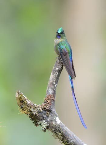 Violet tailed Sylph at hummingbird feeders