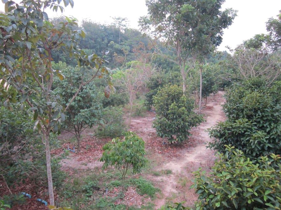 สวนผลไม้