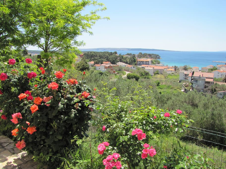View over the roses