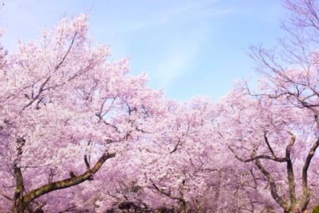 Sakura (Cherry blossom) Season!! 3/22-4/10