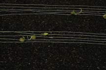 ephemeral work of nilla - musical staff: sprouted lentils, ground wire baste