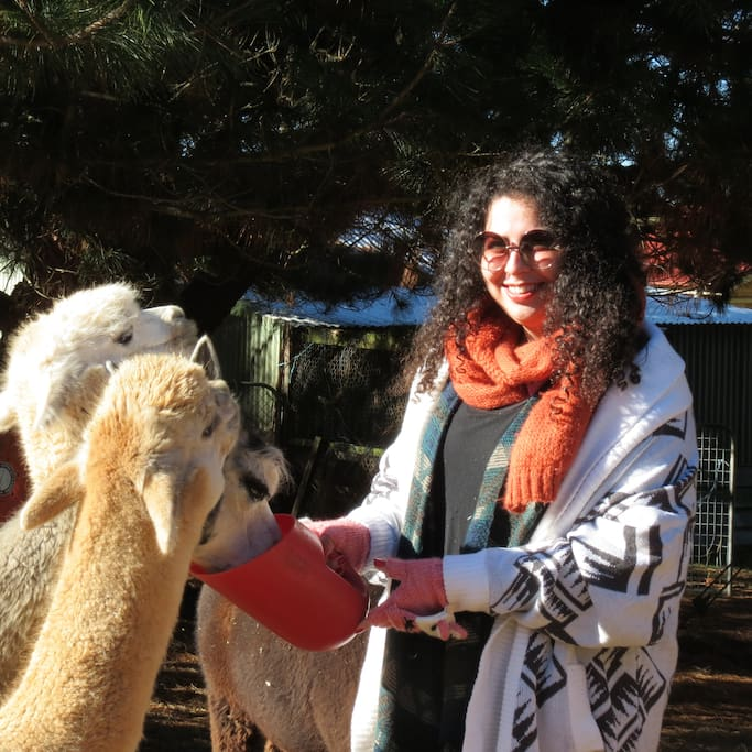 Alpacas are social curious creatures. Ours are friendly and enjoy a special treat.