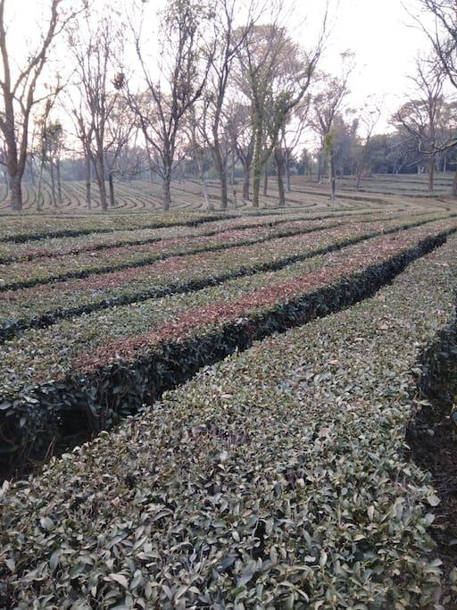 Tea garden at 100mtrs