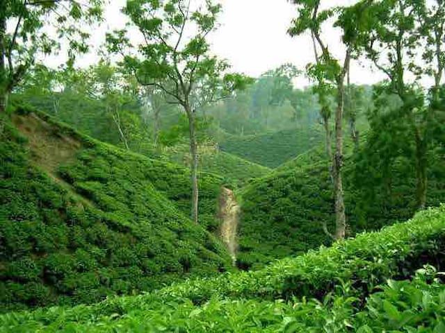 Enjoy the tea estate -sreemangal