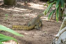 A happy monitor lizard in our garden