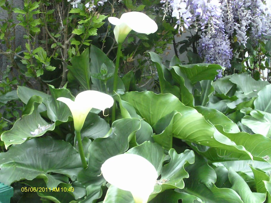 Fragrant lilies lining driveway