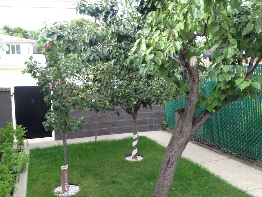 The backyard has a plum and pear tree, great for fresh treats right off the tree in late summer.