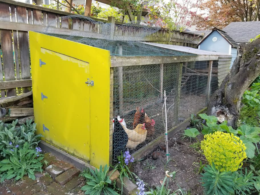 resident hens Lou free in the backyard. zeek, dolly, pip, and boc lay eggs through the spring, summer and fall.