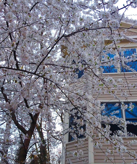 Cherry blossom tree in bloom in front of the house, left side.