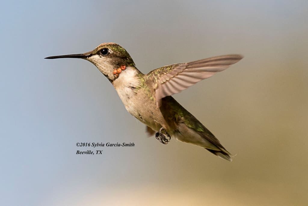 Young ruby-throat at Hummingbird House  (photo by Sylvia Garcia Smith)