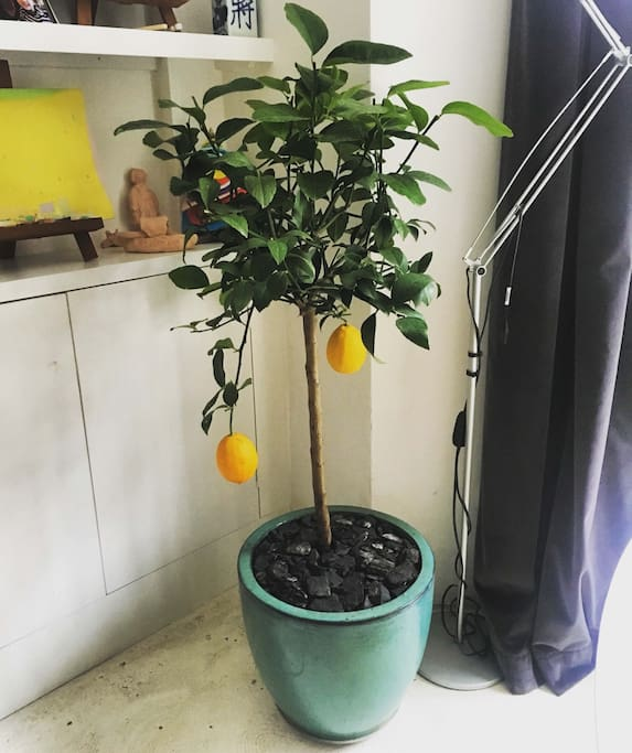 The lemon tree in the living space
