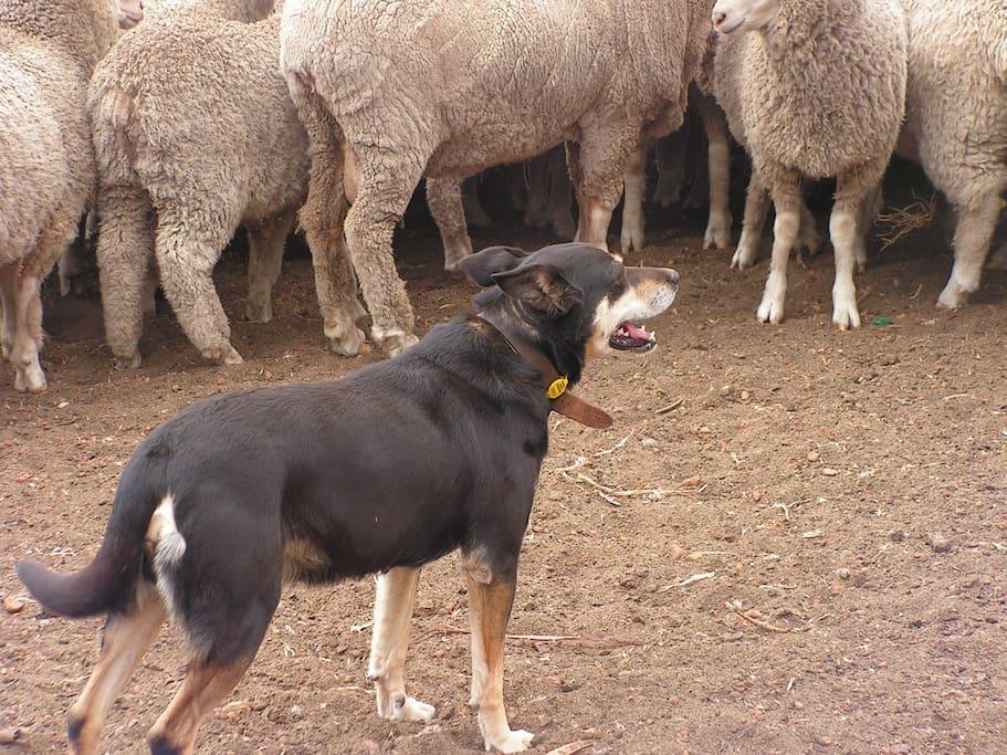 Sheepdog working the sheep