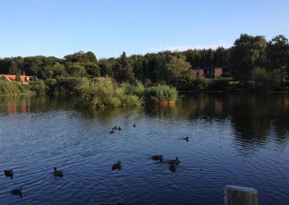 Sø der ligger nær huset - med svaner ænder og fisk