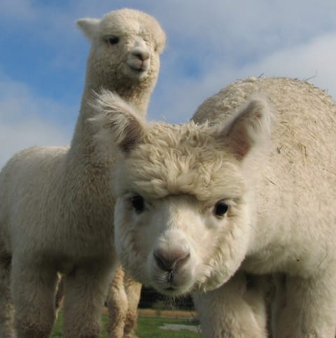 Relaxing Alpaca Farm Stay with Private Studio Unit