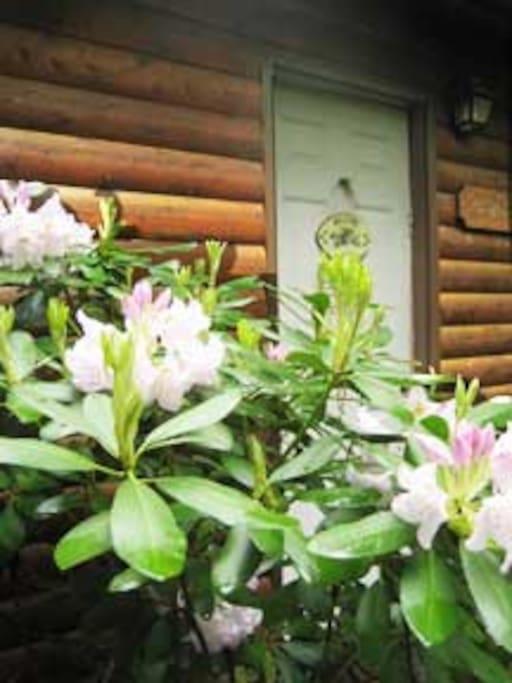 In spring, mountain laurel greet you at the door.