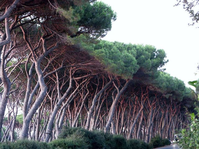 The Pine Forest at San Vincenzo (Livorno)