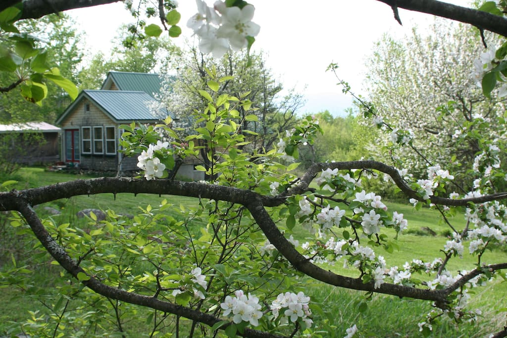 apple blossom time!